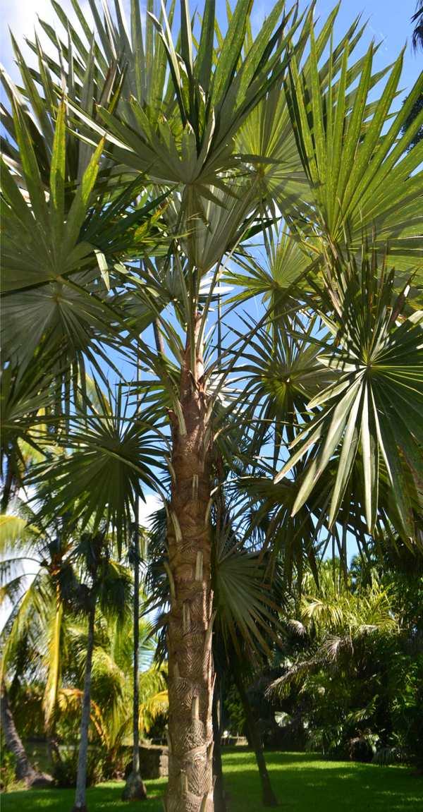 Coccothrinax macroglossa