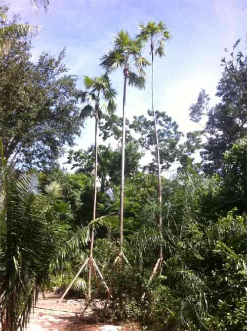 SFPS KIEM FOUNDATION relocated palms A